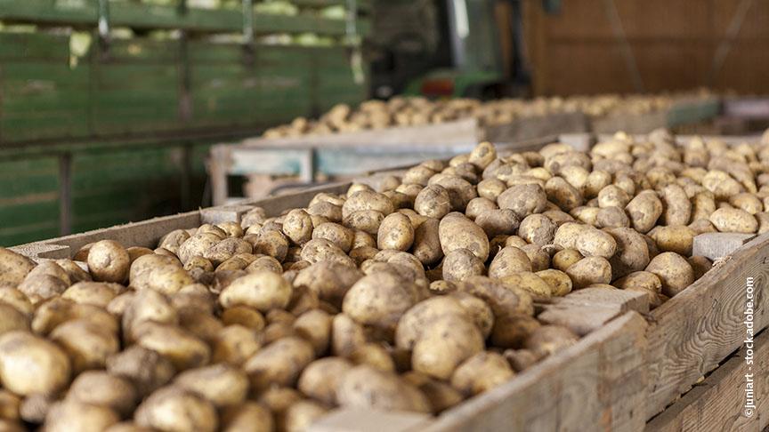 Unbehandelt keimen Kartoffeln rasch.